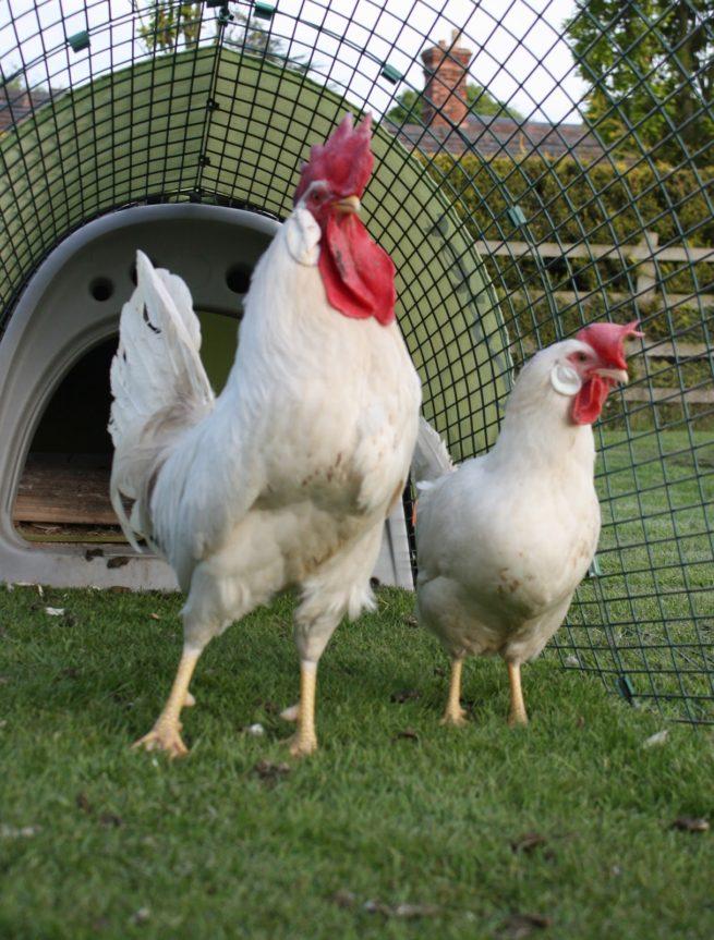 Леггорн: порода кур с описанием и фото