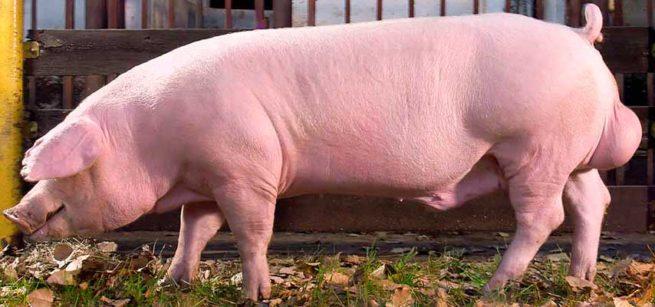 Порода свиней Ландрас: общая характеристика