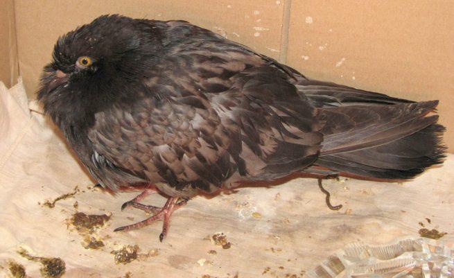 У голубя паратиф Болезни голубей: причины, симптомы, лечение