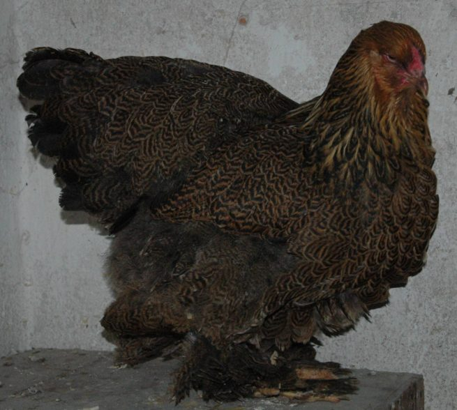 Порода кур Брама: фото и описание птиц