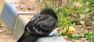 Болезни голубей: причины, симптомы, лечение Больной голубь
