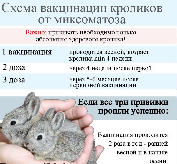 Схема вакцинации кроликов от миксоматоза