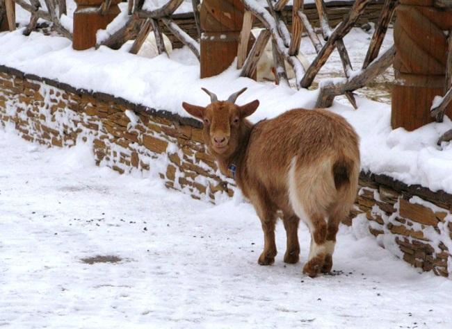 Коричневая коза на снегу
