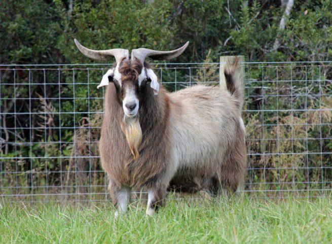 Коза породы кико