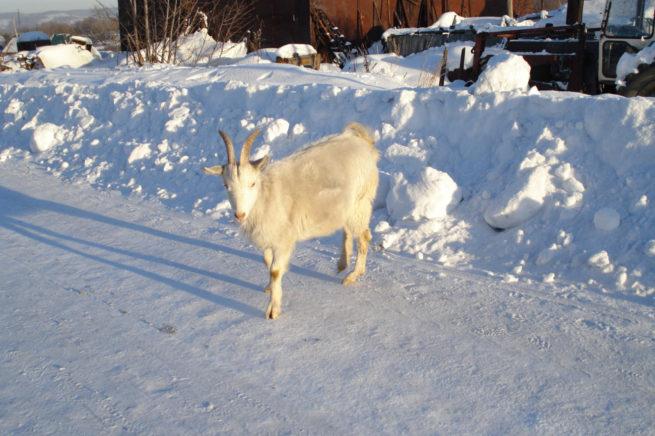 Коза на снегу