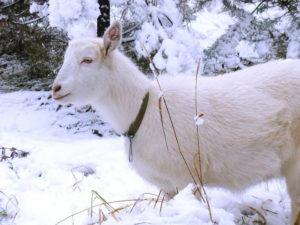 Чем кормить козу зимой: особенности кормления в зимний период