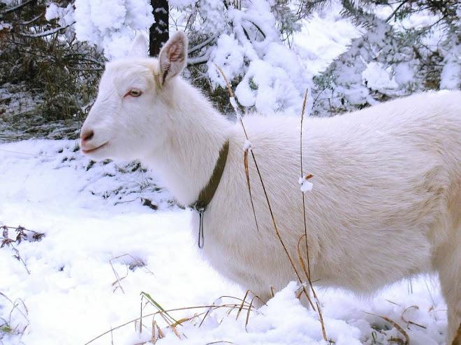 Рацион дойной козы зимой