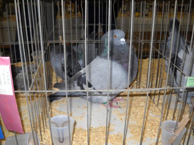 Кормление голубей зимой, летом и другой сезон