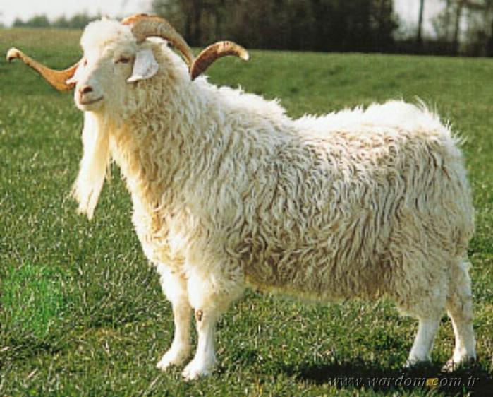 Коза горноалтайская