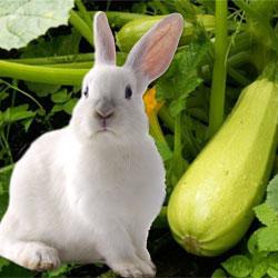 Кролик и кабачок