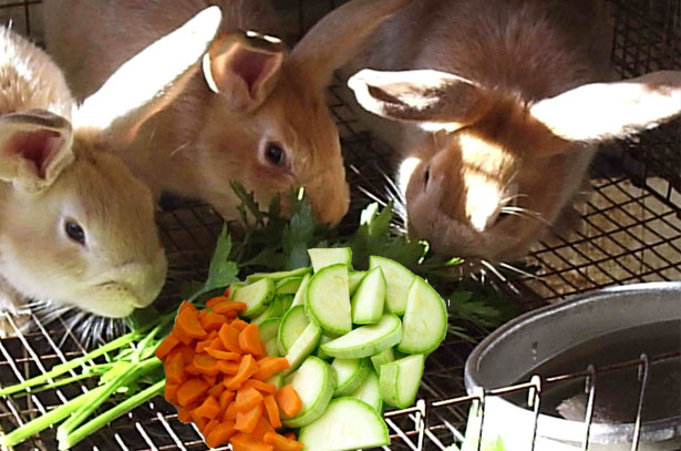 Кролики едят кабачки