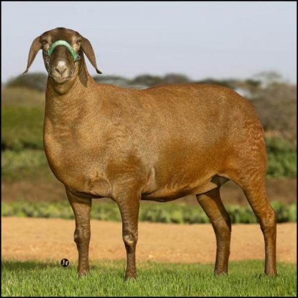 Овцы Блюд у Мейн