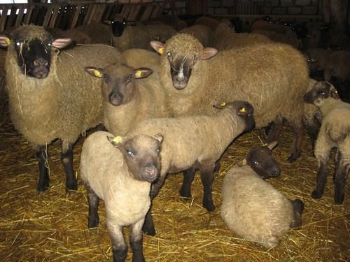 Овцы горьковской породы
