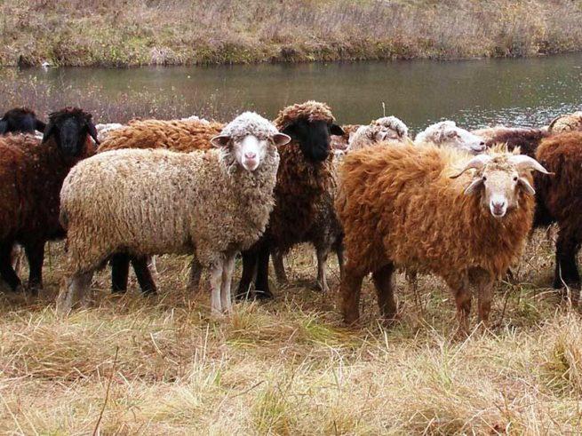 Овцы западносибирской породы