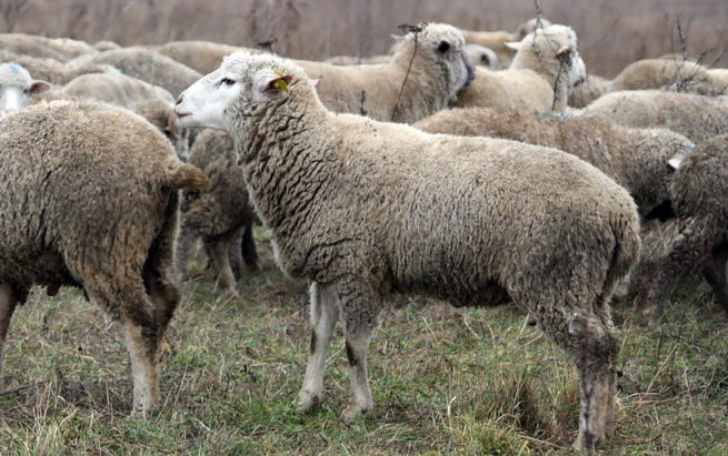 Овцы цигайской породы