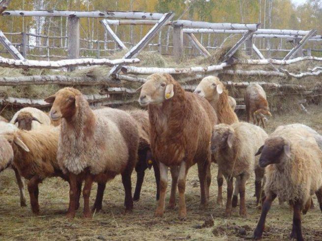 Эльдибевская порода овец