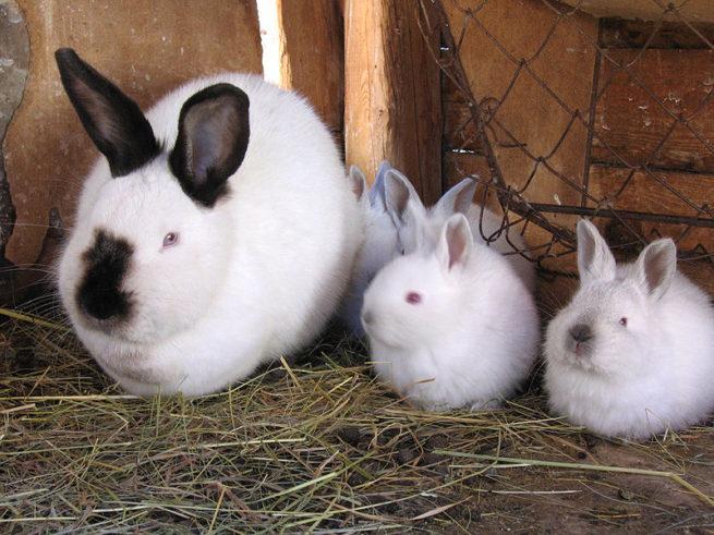 Калифорнийский кролик с крольчатами