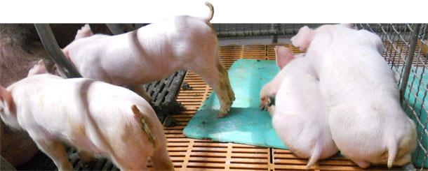 гастроэнтерит вирусный у свиней