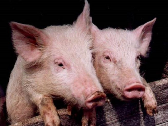 Везикулярная экзантема у свиней