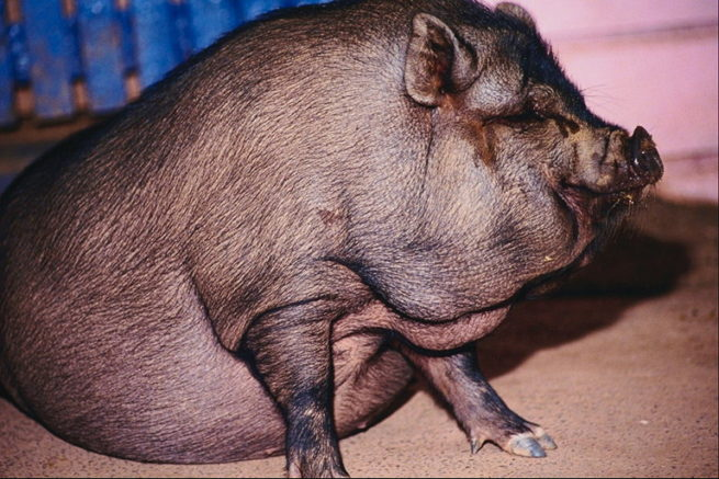 Признаки вздутия живота у свиньи