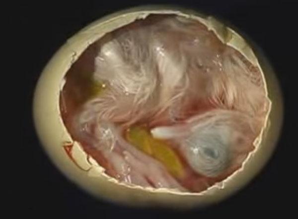 Зародыш в яйце на 18 день
