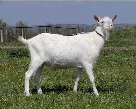 Коза зааненской породы