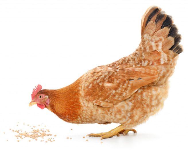 Курица породы загорская лососевая