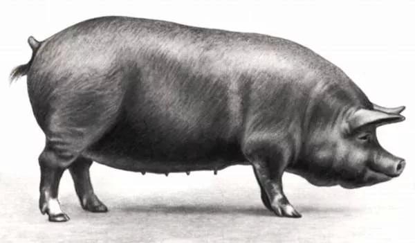 Беркширская порода свиньи