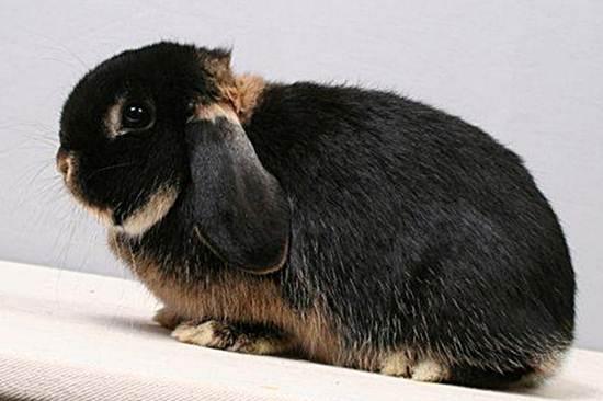 Кролик породы голландский баран