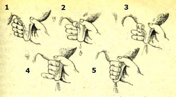 Схема ручного доения коровы