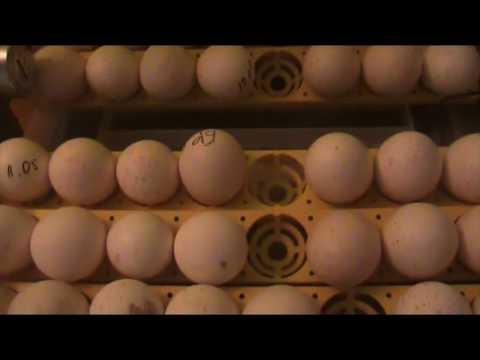 Индюшиные яйца в инкубаторе