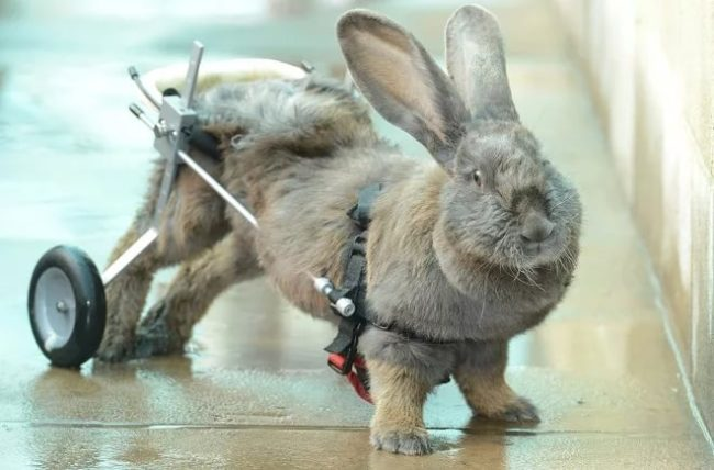 Паралич лап у кролика