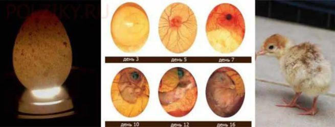 Стадии развития индюшонка в яйце