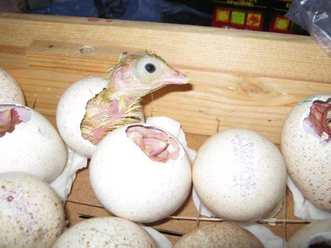 Из яиц вылупляются индюшата