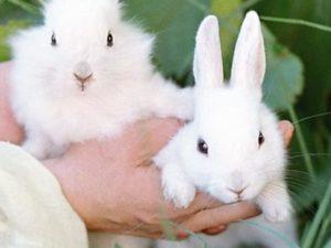 Как отличить самку от самца кролика