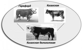 Происхождение казахской белоголовой породы коров