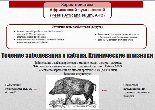 Симптомы африканской чумы у свиней