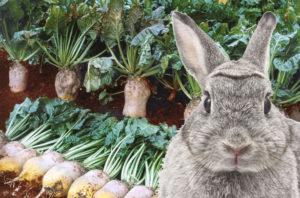 Свекольная ботва для кроликов