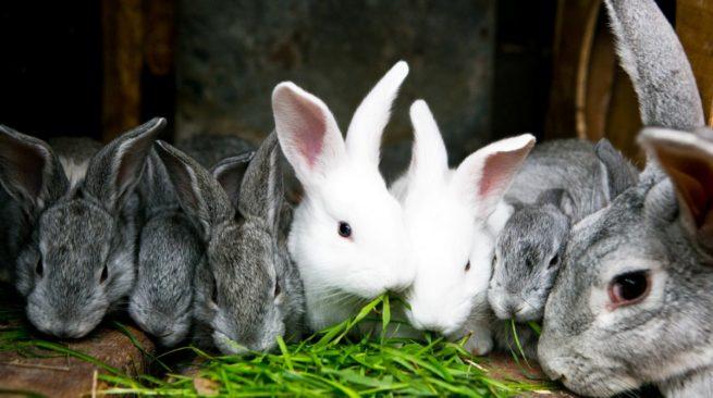 Кролики едят свекольную ботву