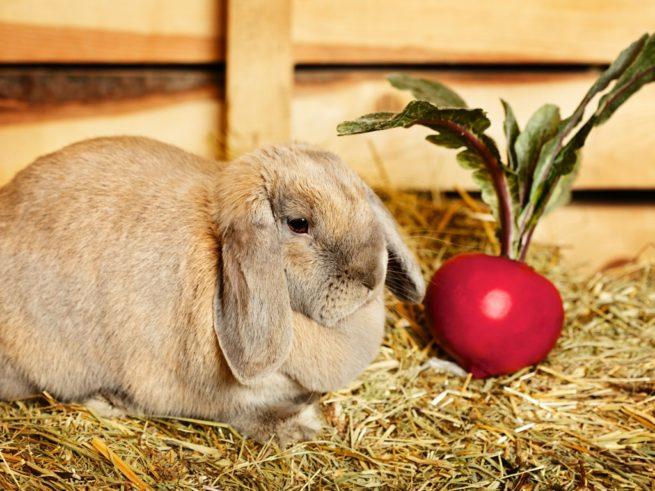 Красная свекла для кроликов
