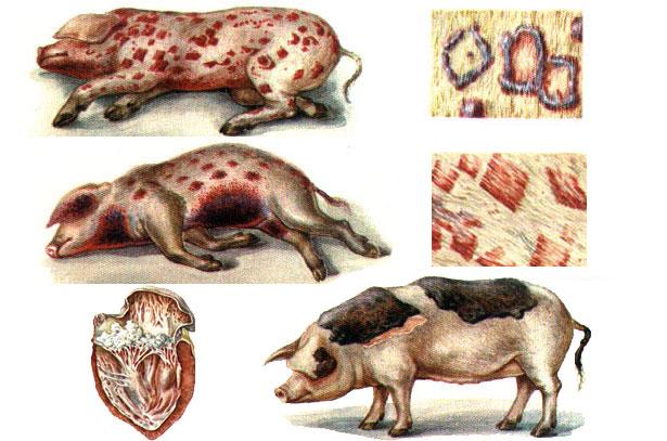 Симптомы рожи у свиней