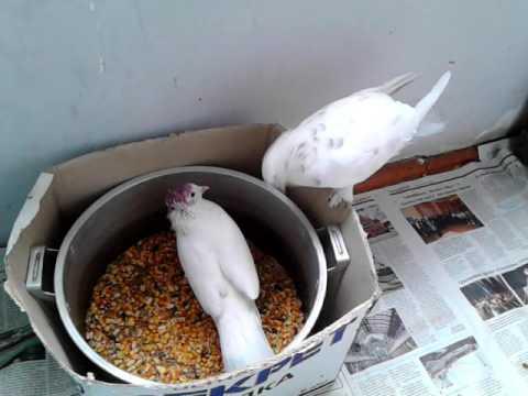 Вертячка у голубей 2 этап