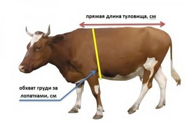 Как определить вес быка без весов