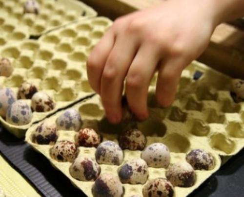 Закладка перепелиных яиц в инкубатор