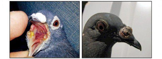 Проявления оспы у голубей