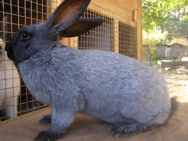 Серебристый кролик: описание породы