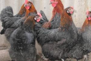 """Порода маран: описание кур с """"шоколадными"""" яйцами"""