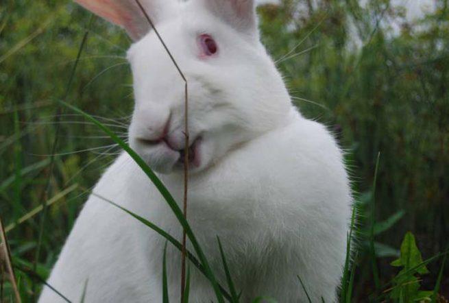 Кролик белый великан кормление