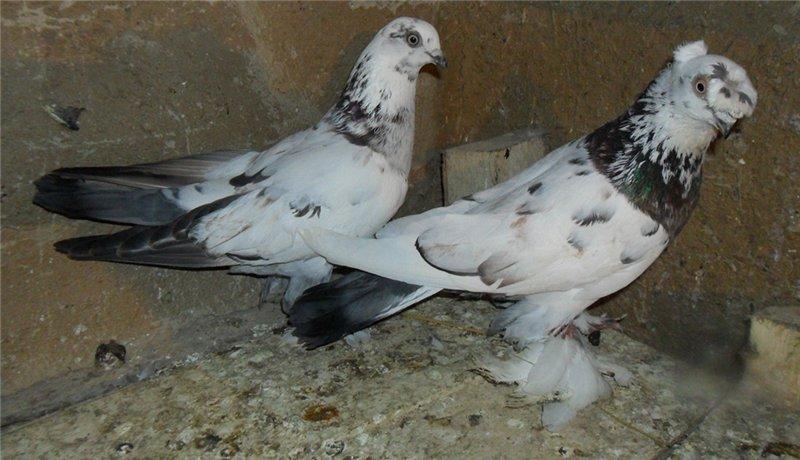 Мохнатые голуби пара