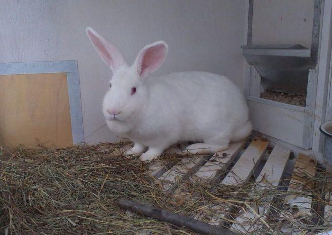 Кролик белый великан в клетке